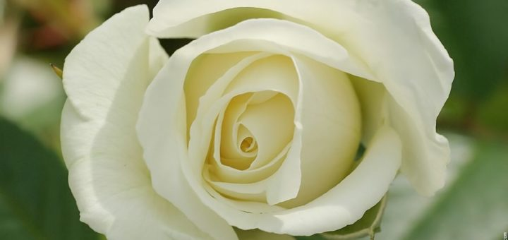 Signification rose blanche enterrement pivoine etc - Pivoine blanche signification ...