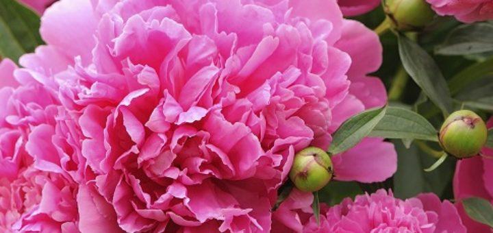 faut il couper les fleurs fanées des pivoines - pivoine etc