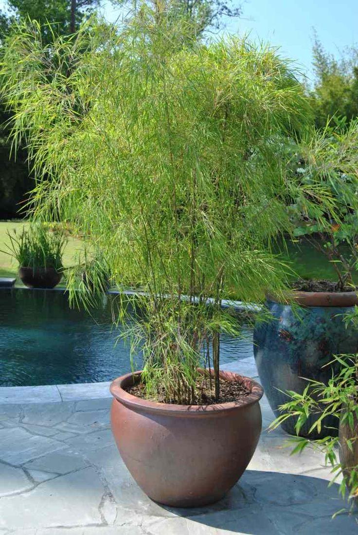 Plantes bambou exterieur en pot pivoine etc for Plante bambou exterieur