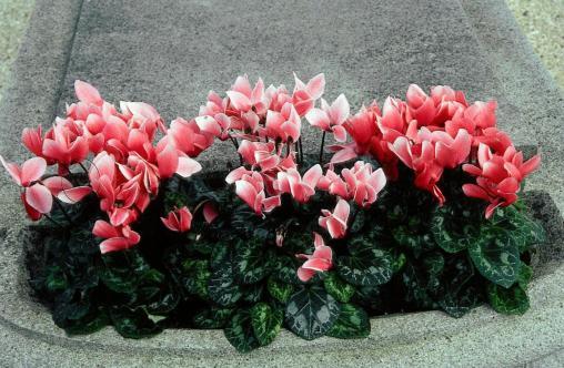 Fleurs d hiver interieur pivoine etc - Fleur d hiver exterieur ...