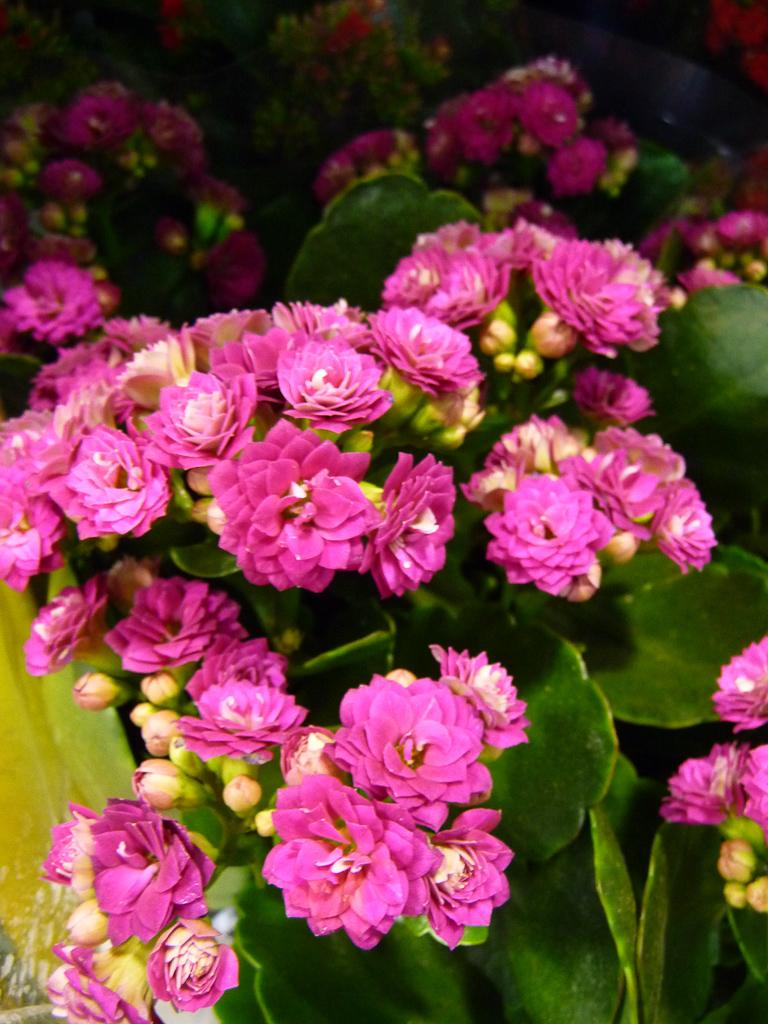Plante fleur rose pivoine etc for Yuka plante exterieur