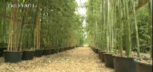 floraison bambou pivoine etc