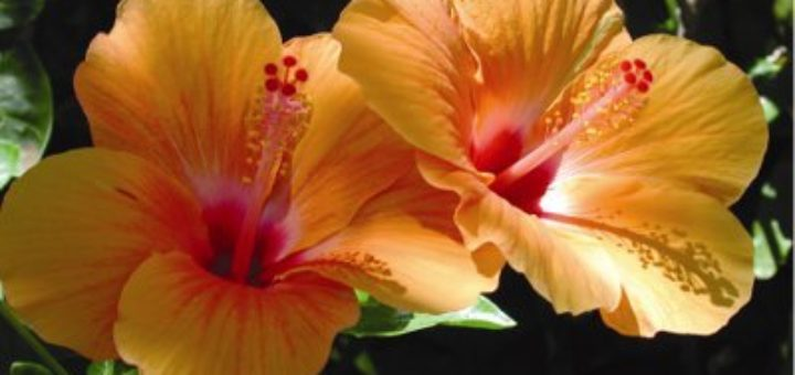 Favorit Fleur des antilles - pivoine etc OC16