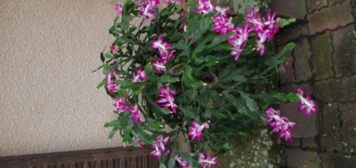 plante grasse d'hiver