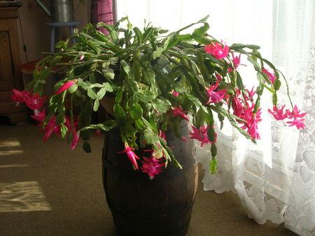 plantes fleuries en hiver pivoine etc. Black Bedroom Furniture Sets. Home Design Ideas