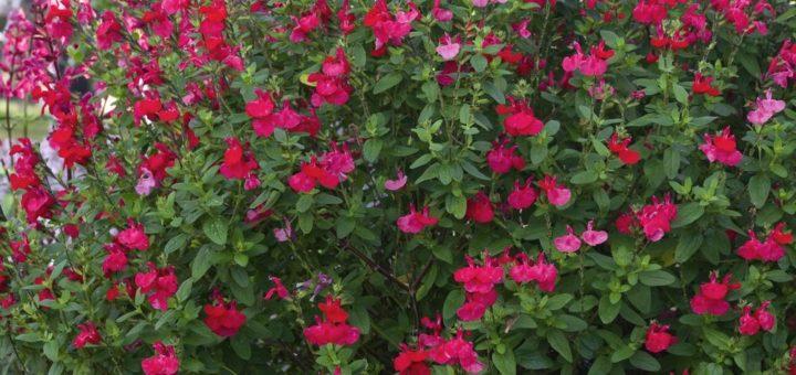 Petite plante fleurie d exterieur pivoine etc for Plante exterieur fleurie hiver