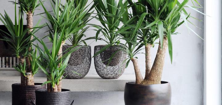 Achat plante interieur pivoine etc for Achat plante