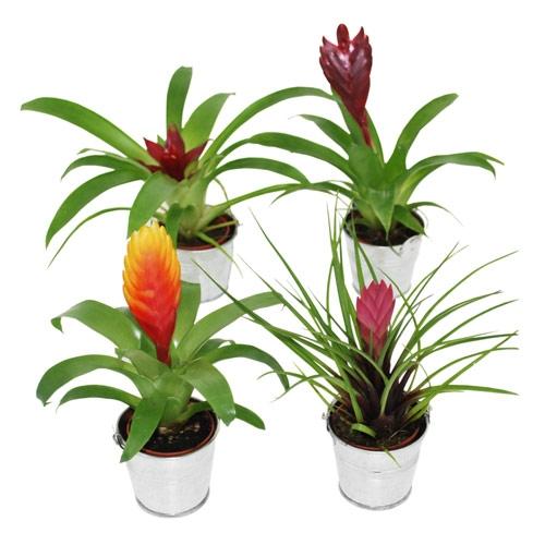 plantes vertes exotiques pivoine etc. Black Bedroom Furniture Sets. Home Design Ideas