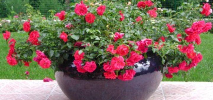 Quelles fleurs en pot ext rieur pivoine etc for Plantes exterieur hiver