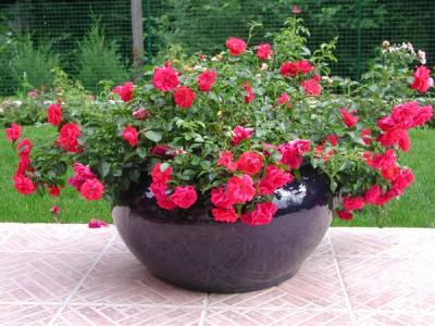 quelles fleurs en pot ext rieur pivoine etc. Black Bedroom Furniture Sets. Home Design Ideas
