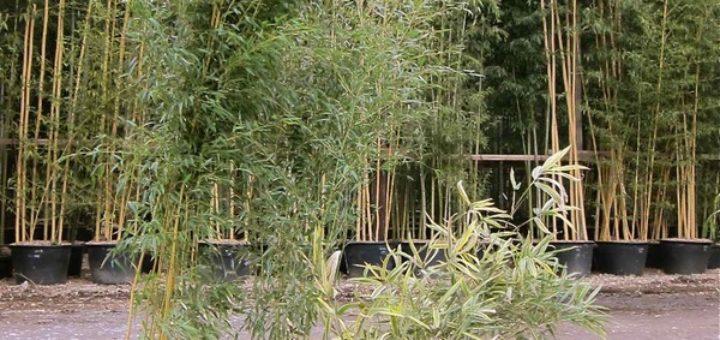 Hauteur bambou en pot pivoine etc - Lucky bambou acheter ...