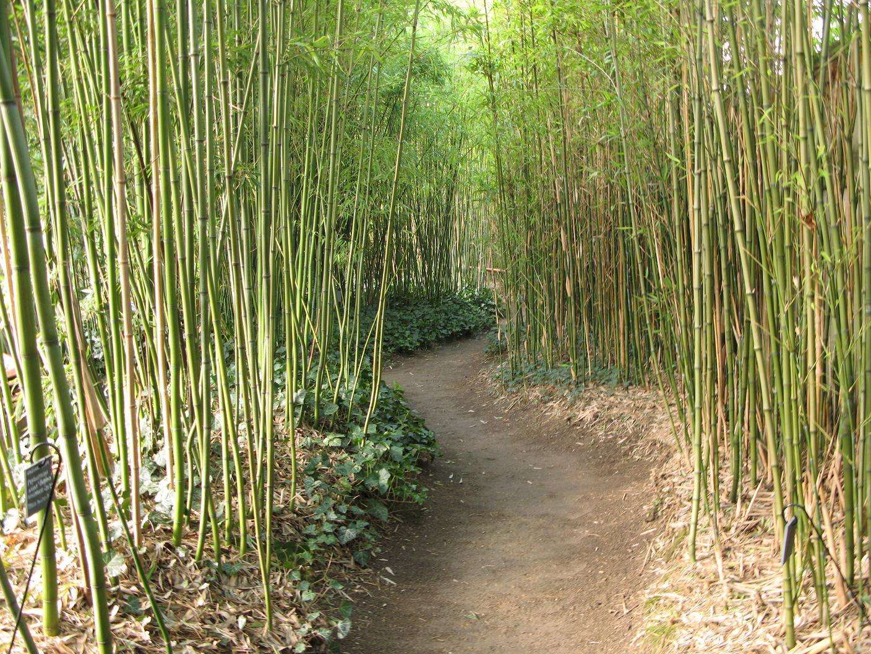 Jardin japonais bambou pivoine etc for Bambou interieur entretien