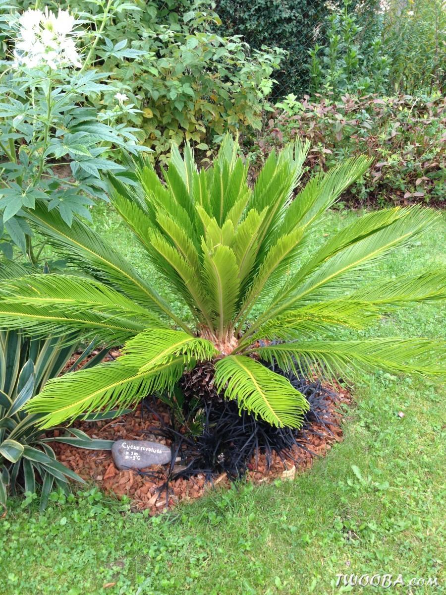 Plantes exotiques belgique pivoine etc for Plante exotique exterieur