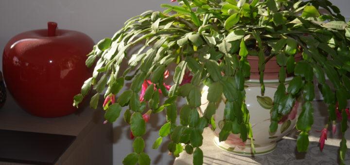 plante grasse d'appartement