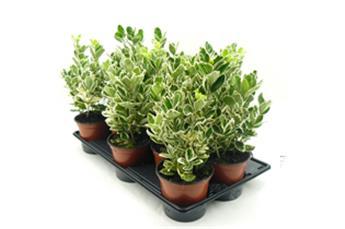 Plantes vertes exterieur pivoine etc for Plantes vertes vivaces exterieur