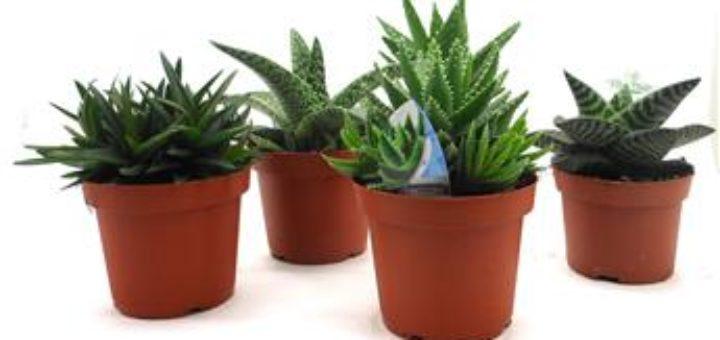 cact es et plantes grasses d int rieur pivoine etc. Black Bedroom Furniture Sets. Home Design Ideas