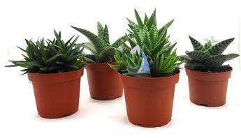 Cact es et plantes grasses d int rieur pivoine etc for Plante succulente d interieur