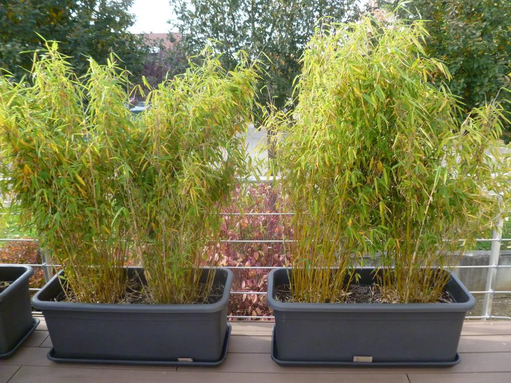 Bambou en pot exterieur jardin tropical avec bambous for Plante bambou exterieur