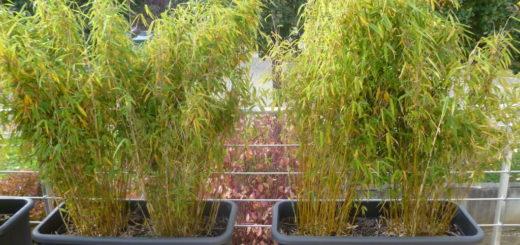 Pivoine etc - Comment traiter le bambou ...
