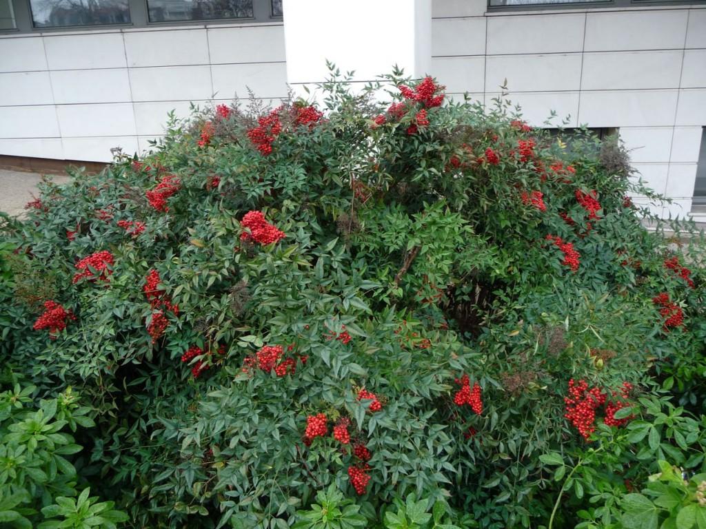 petit arbuste persistant pivoine etc