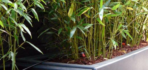 Pivoine etc - Replanter un bambou coupe ...