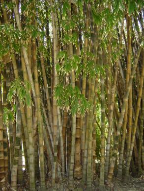 Quel bambou pour terrasse pivoine etc - Quel terreau pour bambou ...