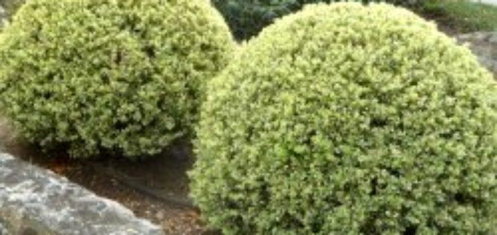 Plante fleurie exterieur hiver pivoine etc for Plante exterieur fleurie hiver