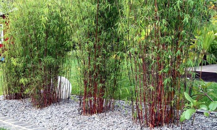 bambou fargesia entretien pivoine etc. Black Bedroom Furniture Sets. Home Design Ideas