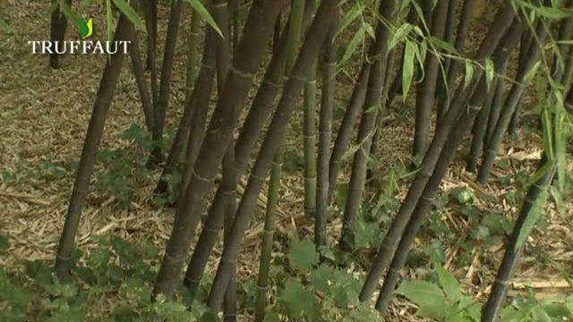 Comment faire pousser bambou pivoine etc - Replanter un bambou coupe ...