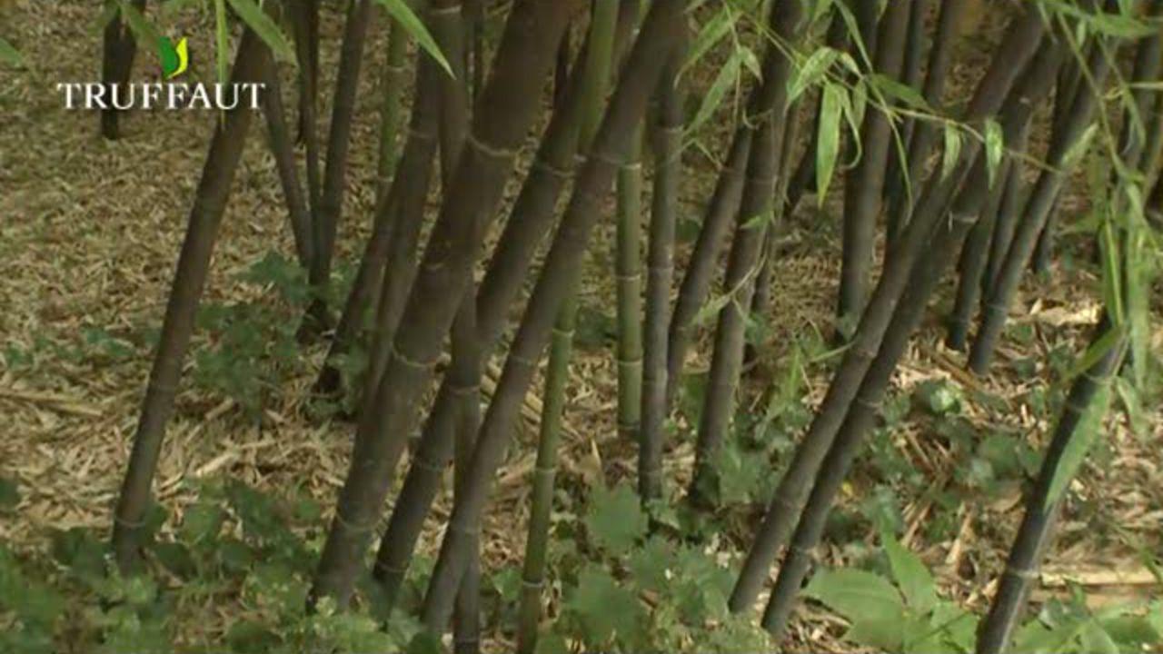 faire pousser du bambou pivoine etc. Black Bedroom Furniture Sets. Home Design Ideas