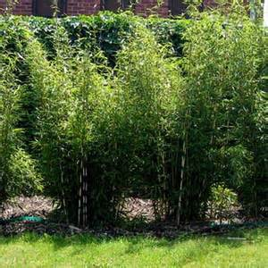 Entretien fargesia robusta pivoine etc for Bambou interieur entretien