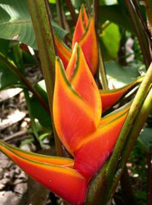 Plante exotique exterieur pivoine etc for Plante exotique