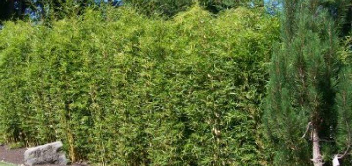 bambou non traçant