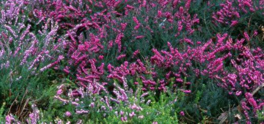 Plantes d hiver ext rieur balcon pivoine etc for Plante exterieur hiver