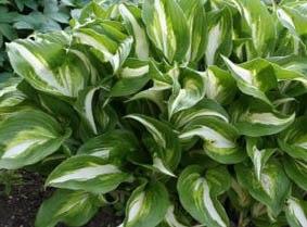 Plante verte vivace exterieur pivoine etc for Plantes vertes vivaces exterieur