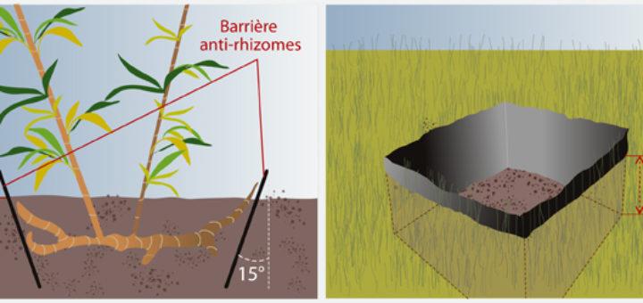 comment planter bambou