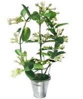 plante exotique fleur blanche