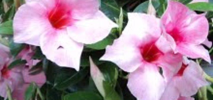 Plante fleurie d exterieur pivoine etc for Plante exterieur fleurie