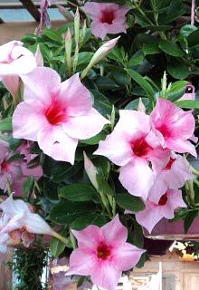 Plante fleurie d exterieur pivoine etc for Plante exterieur fleurie hiver