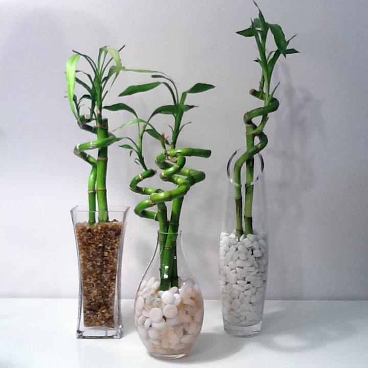 Bambou en pot int rieur entretien pivoine etc for Bambou en pot interieur