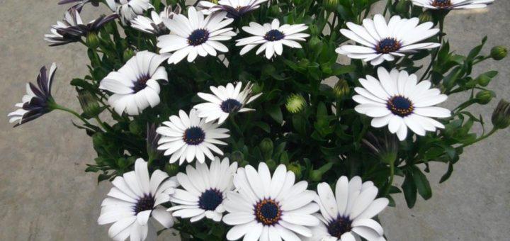 plantes fleuries en pot exterieur pivoine etc. Black Bedroom Furniture Sets. Home Design Ideas