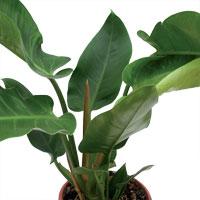 Acheter Plante Verte Pivoine Etc