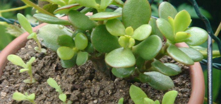 Plante grasse d int rieur pivoine etc for Plante succulente d interieur