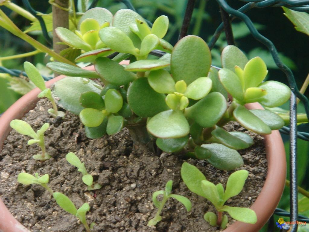 Plante grasse d int rieur pivoine etc - Plante grasse d interieur ...