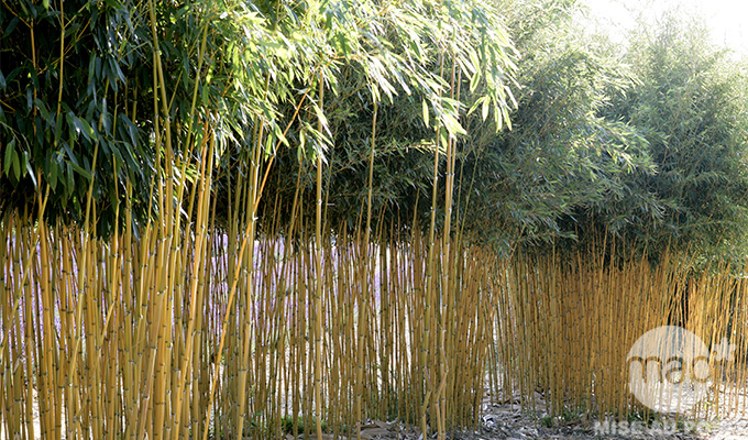 Plantation de bambou - pivoine etc