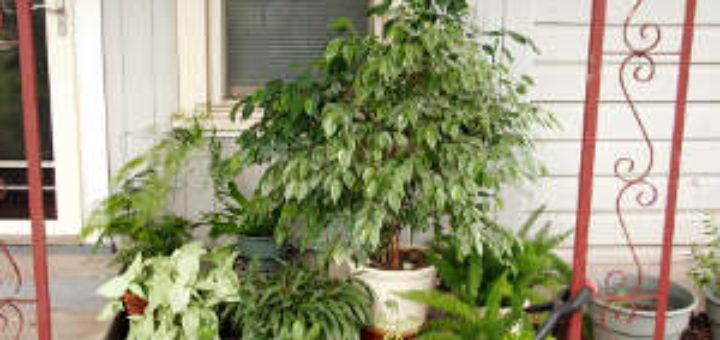 plante verte exterieur jardin pivoine etc. Black Bedroom Furniture Sets. Home Design Ideas