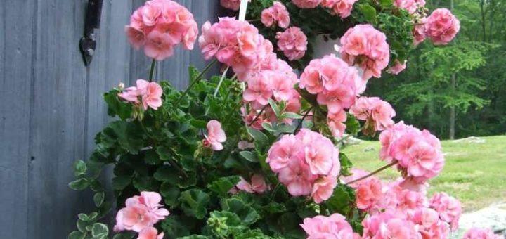 fleurs retombantes good plantes retombantes pour jardinieres les plantes et fleurs de de votre. Black Bedroom Furniture Sets. Home Design Ideas