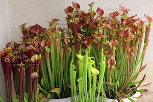 plantes carnivores pivoine etc. Black Bedroom Furniture Sets. Home Design Ideas