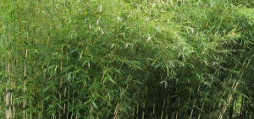 Barri re anti rhizome bambou pivoine etc for Bambou interieur entretien