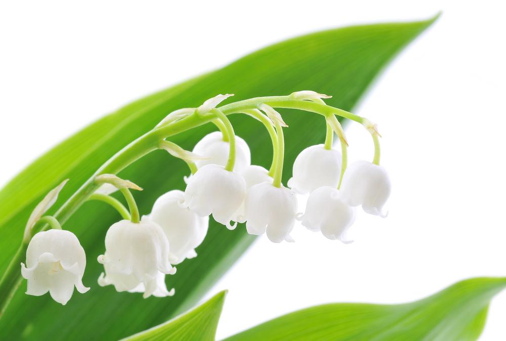 Muguet fleur pivoine etc for Yuka plante exterieur